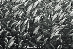 school of milkfish by Heru Suryoko 